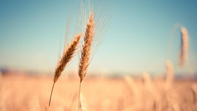 Прогноз урожая скорректировали: не только больше, но и лучше