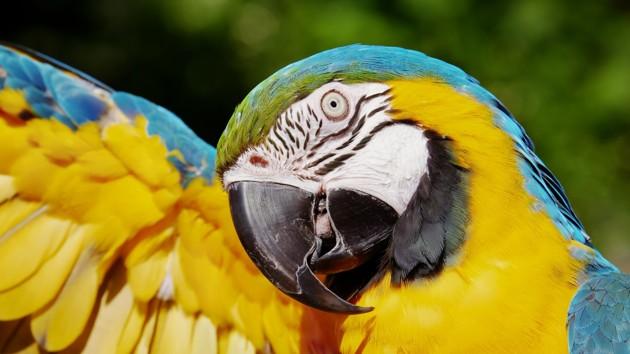 Люблю тебя, давай целоваться: беседа двух попугаев растрогала социальные сети