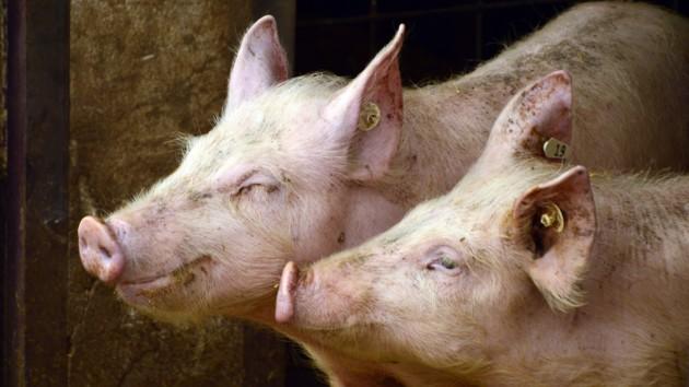 В Одесской области нашли трупы зараженных свиней