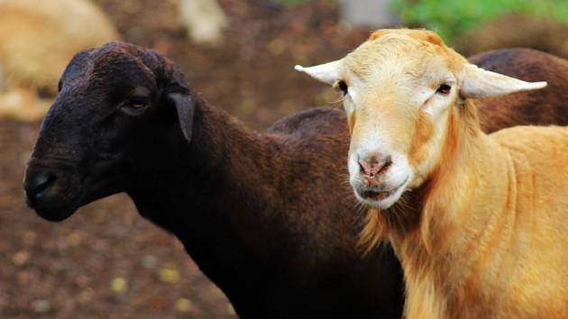 Предприимчивая жительница Одесской области украла коз с пастбища