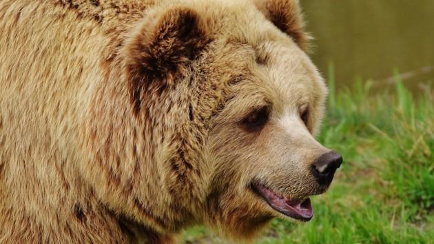В России медведь разрыл могилу и утащил покойника
