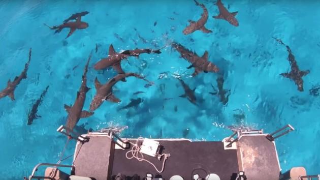 Курьезное видео: какая жидкость сильнее всего привлекает акул