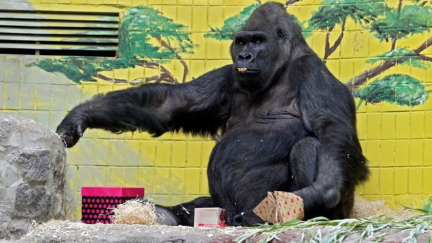 Как старожил Киевского зоопарка горилла Тони отпраздновал день рождения - фото