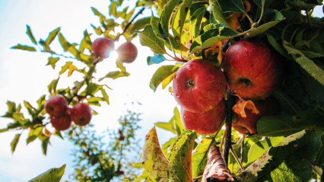 Яблочный Спас 2019: главные приметы