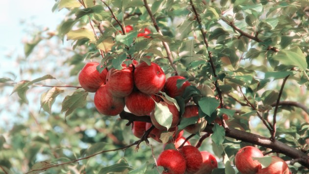 Яблочный Спас 2019: поздравления в стихах и прозе