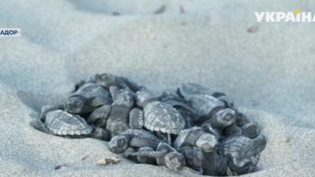 В Эквадоре сняли на видео нашествие редкостных черепах