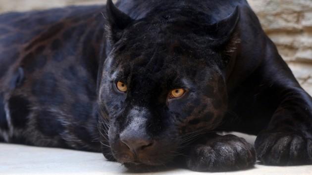 Во Франции черная пантера взобралась на крышу и пыталась пролезть в окно
