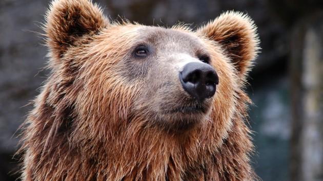 В Румынии медведь напал на людей: трое пострадавших
