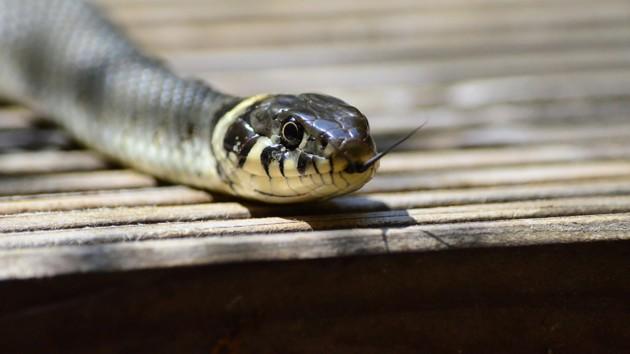В Чернобыле показали фото редкой змеи