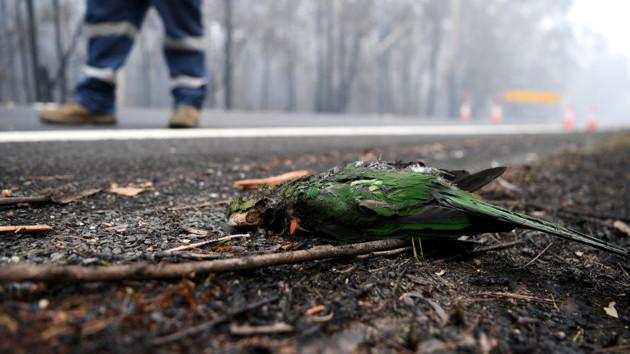 В лесных пожарах на Пятом континенте массово гибнут животные и птицы