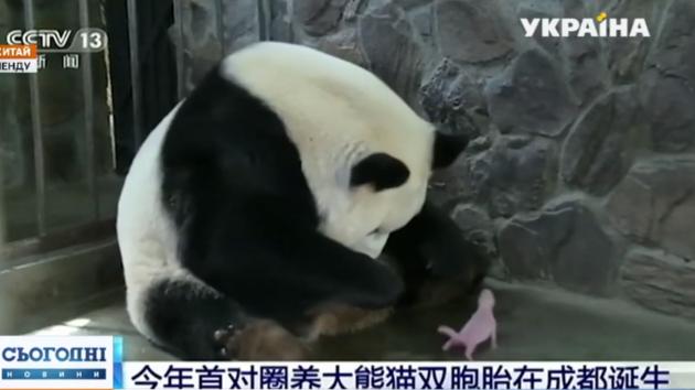 В Китае уже радуются пандам (видео)