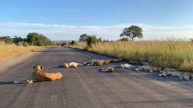 Удивленные отсутствием туристов львы неожиданно разлеглись посреди дороги: фото