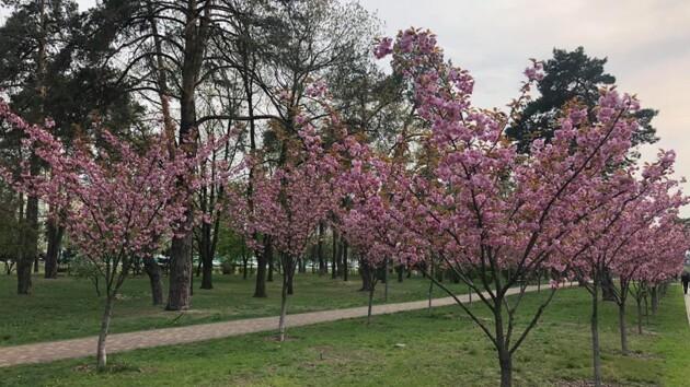 В Киеве зацвела километровая аллея сакур (фото)