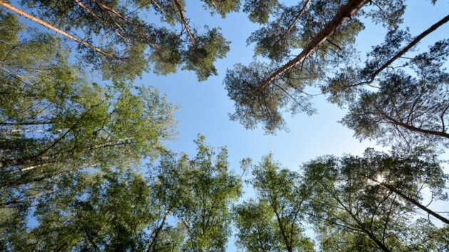 Под Киевом судят мужчину, укравшего из леса 20 сосен