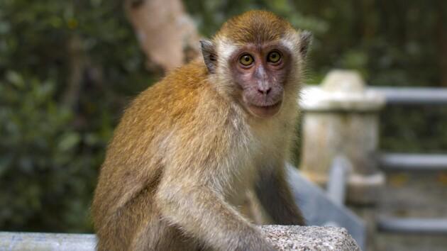 Сексуально озабоченные обезьяны захватили город в Таиланде: видео