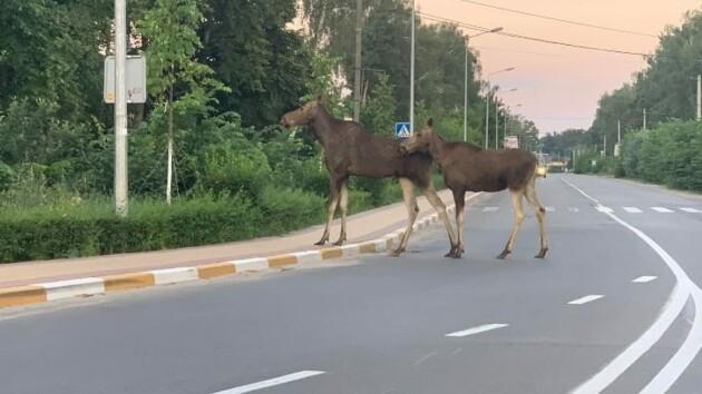 Необычные «соседи»: по улицам Ворзеля разгуливают лоси (фото)