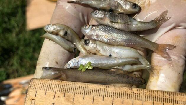 В Киевской области гибнет рыба (фото)