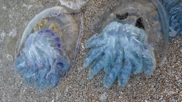 """У Бердянську чоловік спіймав величезну медузу: фото морського """"чудовиська"""""""