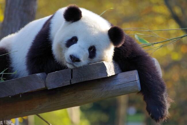 Панда, Одинокие и загадочные: животные, на которых похожи знаки Зодиака