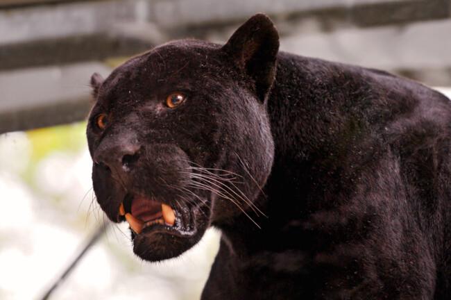 Пантера, Одинокие и загадочные: животные, на которых похожи знаки Зодиака