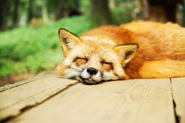 Лисица, Одинокие и загадочные: животные, на которых похожи знаки Зодиака