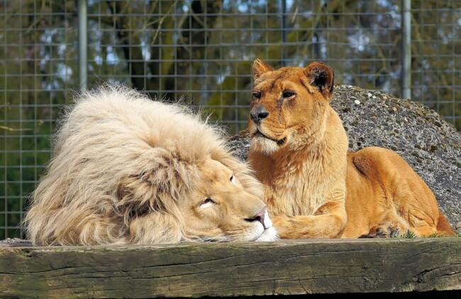 Львы, Одинокие и загадочные: животные, на которых похожи знаки Зодиака