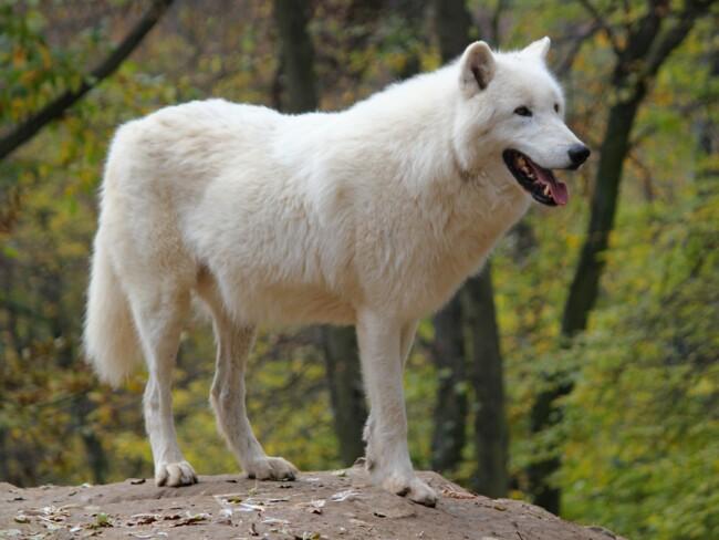 Волк, Одинокие и загадочные: животные, на которых похожи знаки Зодиака