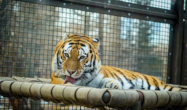 Тигр кинувся в погоню за туристами