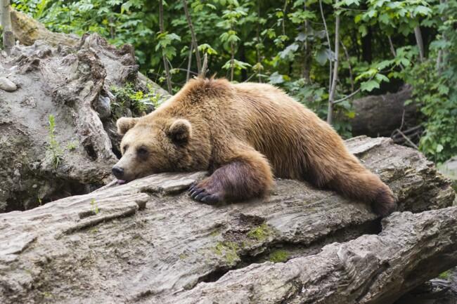Медведь, Одинокие и загадочные: животные, на которых похожи знаки Зодиака