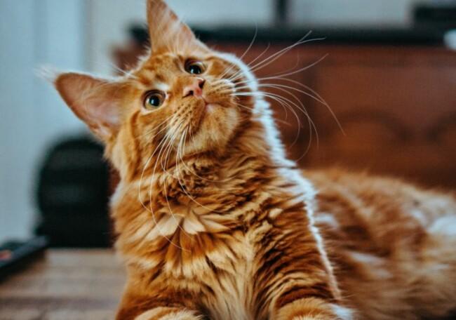 Кот, Одинокие и загадочные: животные, на которых похожи знаки Зодиака