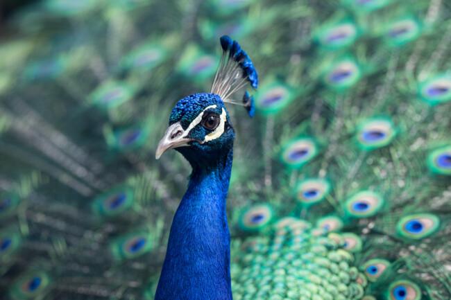 Павлин, Одинокие и загадочные: животные, на которых похожи знаки Зодиака
