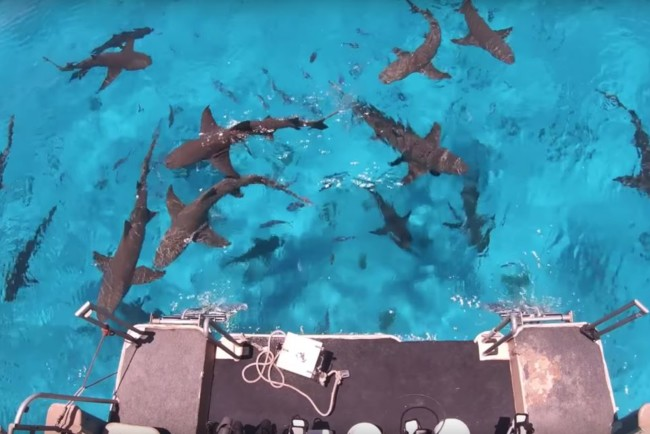 Блогер узнал, правда ли, что акул привлекает запах крови Фото:  YouTube / Mark Rober