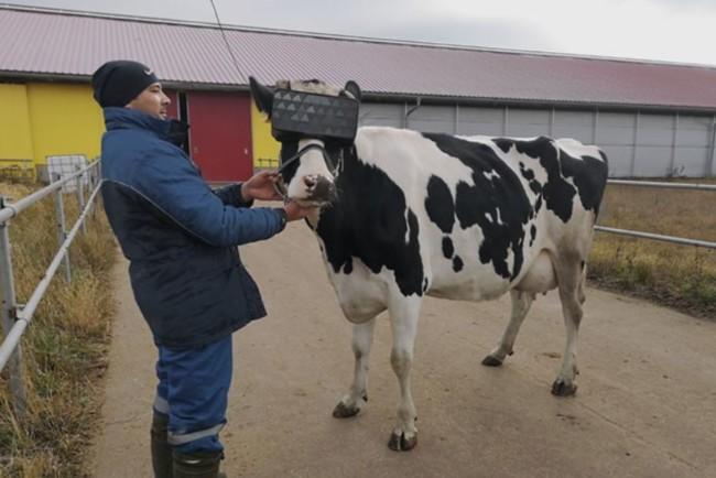 На підмосковній фермі тестували VR-окуляри для корів