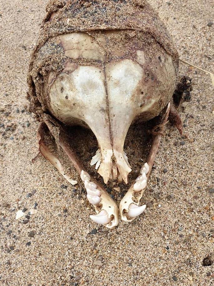 Картинки по запросу Женщина нашла череп странного существа