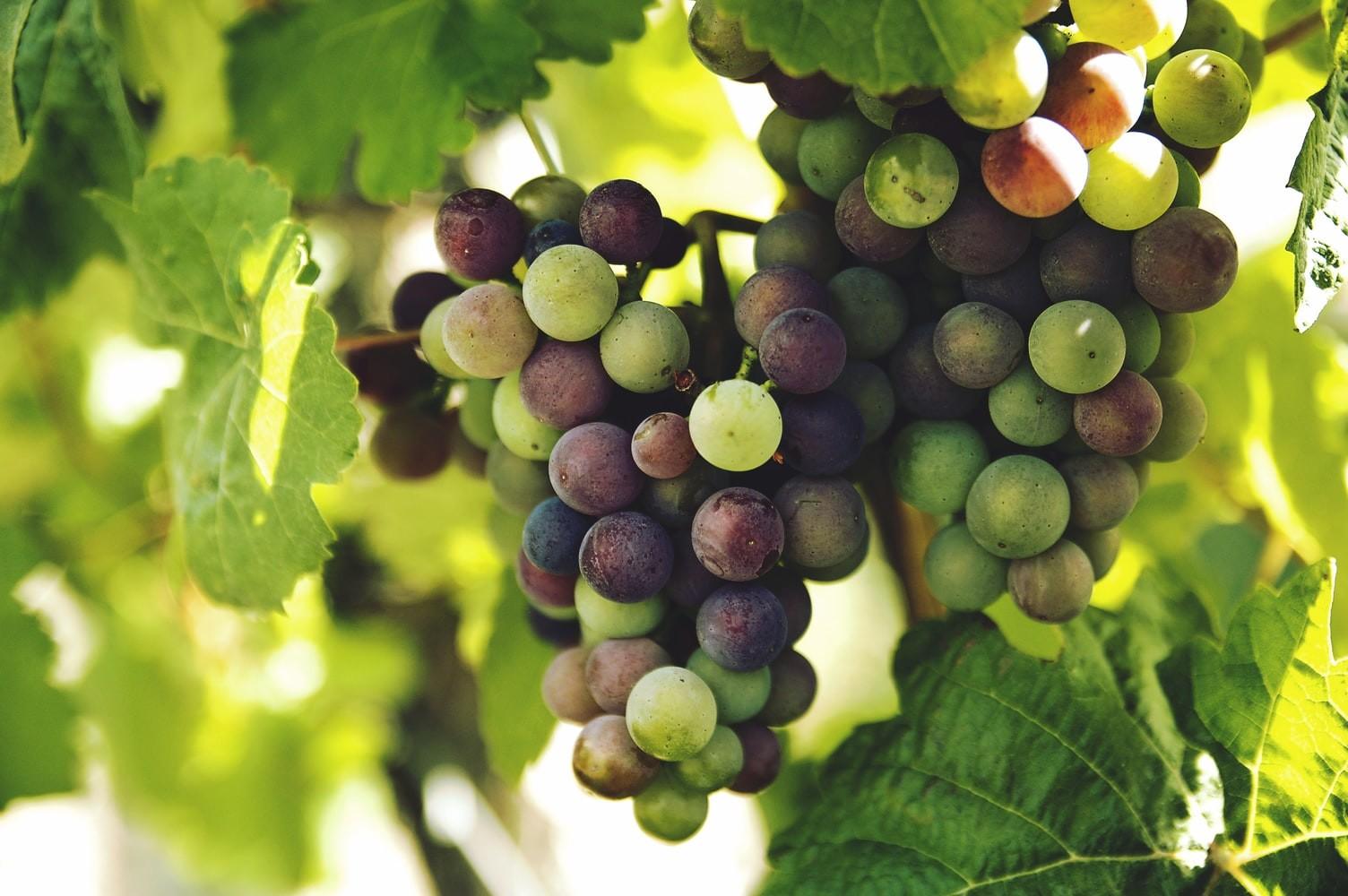 Хороший виноград не должен осыпаться с гроздей