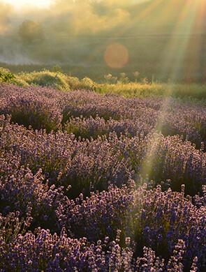 Лавандове поле