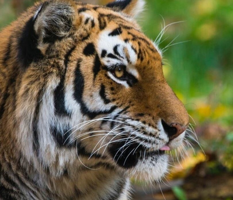 От домашних кошек до диких тигров: как болеют коронавирусом животные