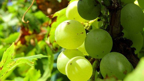 Виноград насыщает кровеносную систему. Фото: pixabay.com