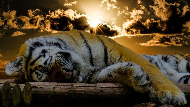 Тигра прийняли за перевертня. Фото