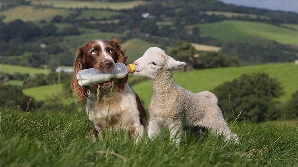 Собака відповідально поставилася до своїх обов'язків.