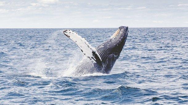 Ученые впервые записали пение очень редкого кита - Технологии - zn.ua | 343x610