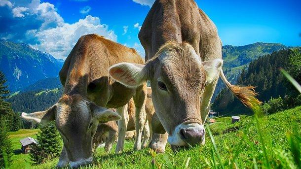 Корова врятувалася від смерті. Фото: pixabay