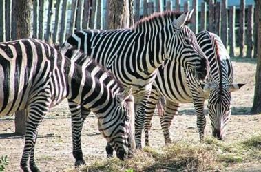 Зебры. Теперь в зоопарке остались одни самки. Фото А. Яремчук