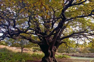 Семь вековых деревьев станут памятниками. Фото bigball.ua
