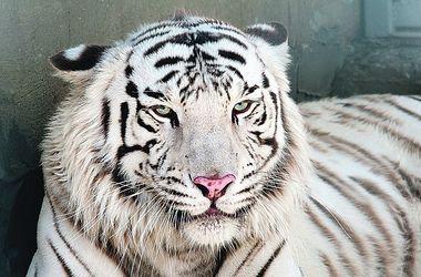 Экзотика. Особенно полюбился публике белый тигр и его детеныш. Фото: slovo.odessa.ua