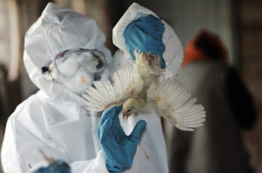 Ветеринары начали уничтожение птицы в очаге обнаружения птичьего гриппа, AFP